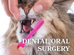 Dental/Oral Surgery - All About Cats Veterinary Hospital | Kirkland WA 98033