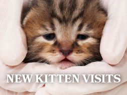New Kitten Visits - All About Cats Veterinary Hospital | Kirkland WA 98033