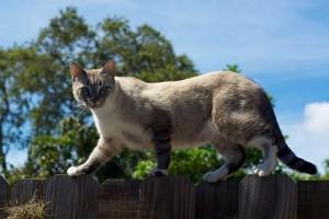 cat-walking-on-fence-for-farel-care-seattle-farel-cats-program-in-seattle-blog
