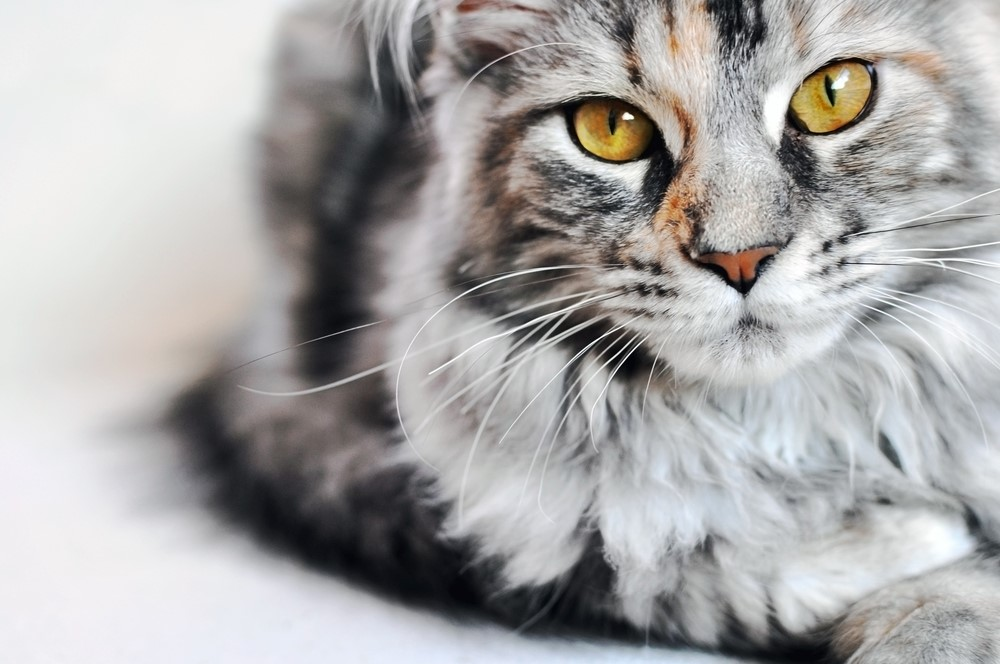 Gray and White Cat with Golden Eyes | Adopt a Shelter Cat Month | Kirkland Cat Vet Clinic
