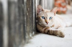 feral cat with gray eyes