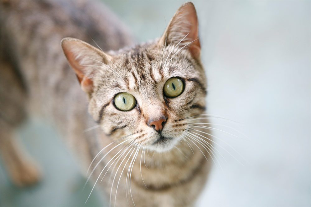 The Origins and History of the Tabby Cat